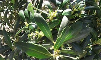 As mil propriedades do extrato de folhas de azeitona: benefícios e preparação