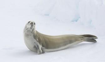 'Pele de foca, pele da alma', por Clarissa Pinkola Estés