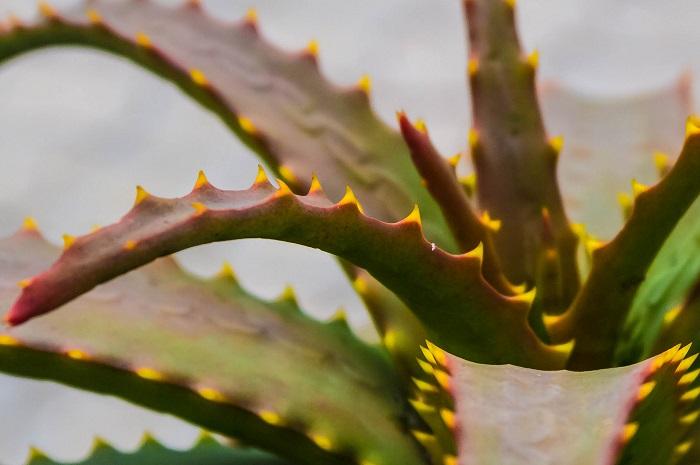 Babosa (Aloe vera). Foto: Thangaraj Kumaravel (licença Creative Commons)