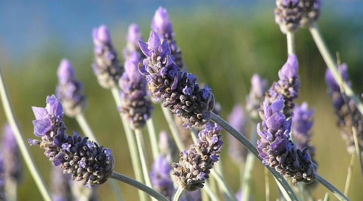 Flower Purple Natural Herbal Field Plant Lavender
